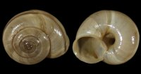 Chilostoma cing. cingulatum - 108962 - F+/F++ - 22,00mm