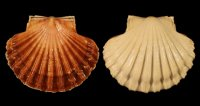 Pecten jacobeus - 039459 - F+/F++ - 83,00mm