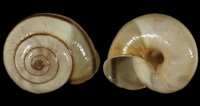 Chilostoma cing. cingulatum - 108965 - F+/F++ - 22,00mm