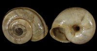 Chilostoma cing. cingulatum - 108967 - F+/F++ - 22,00mm