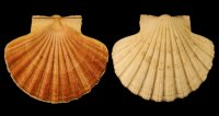 Pecten jacobeus - 039445 - F+/F++ - 111,00mm