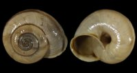 Chilostoma cing. cingulatum - 108961 - F+/F++ - 22,00mm