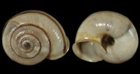 Chilostoma cing. cingulatum - 108960 - F+/F++ - 22,00mm